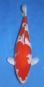 Koi for Japanische teichfische